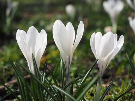 Flowering white crocus images pixabay download free pictures crocus flower spring bhen white colorful mightylinksfo