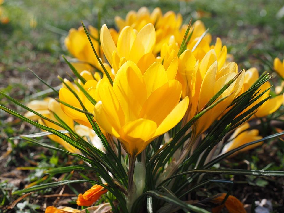 Crocus flower spring free photo on pixabay crocus flower spring bhen yellow mm colorful mightylinksfo