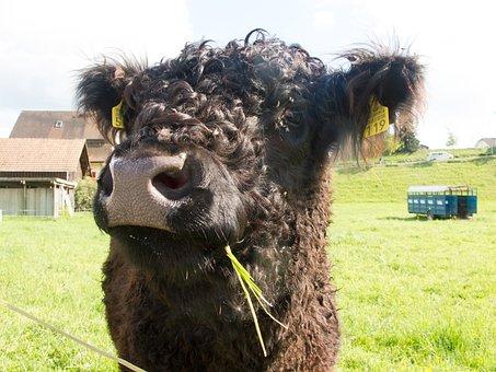 Vaca, Agricultura, Ganado, Animales