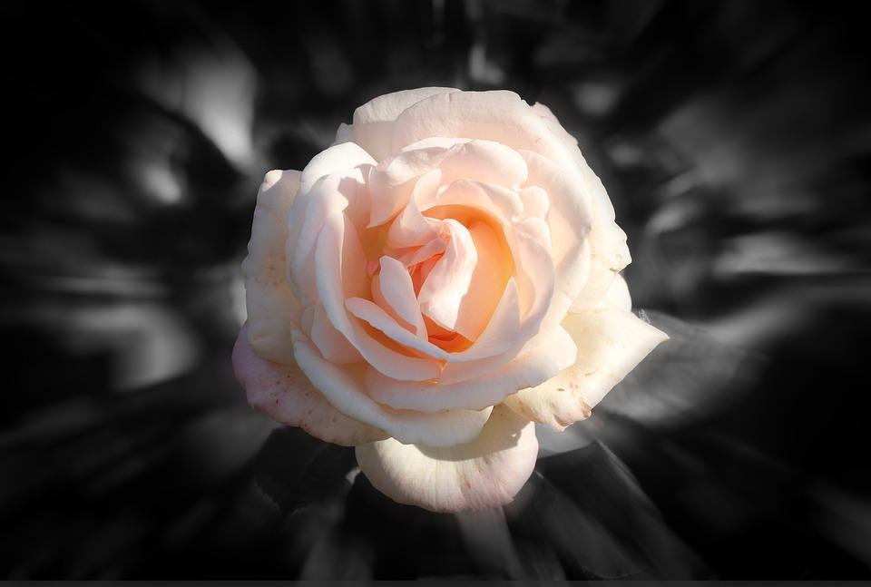Rose Flor Rosa Fundo 183 Foto Gratuita No Pixabay