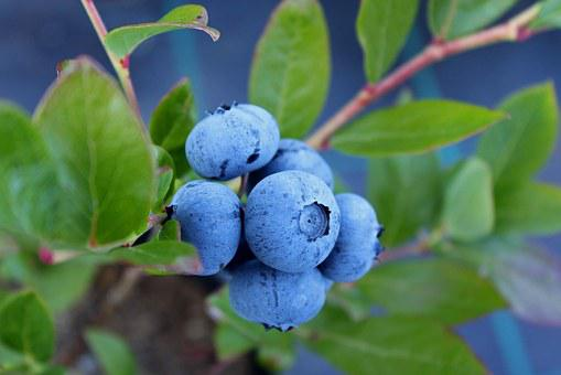 Blueberry, Culinary, Food, Sprigs