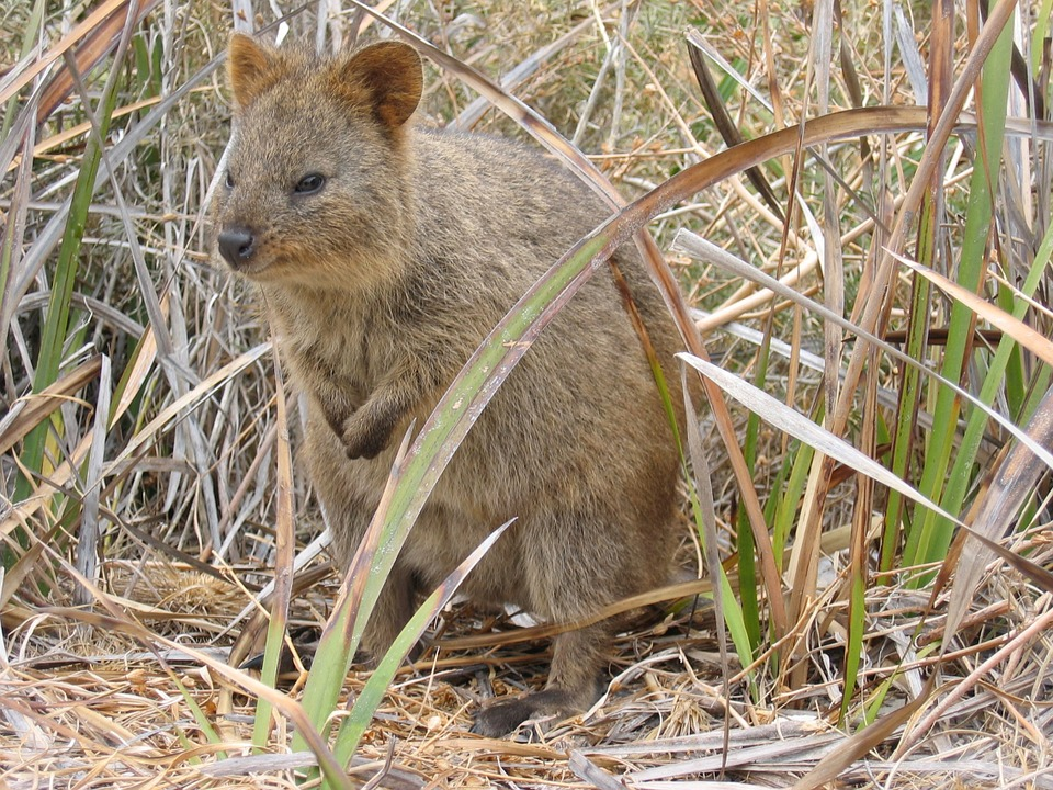 Quokka in the farm