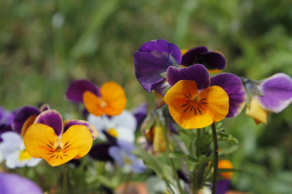 Циннии посадка, уход, виды и сорта. Выращивание. Цветы
