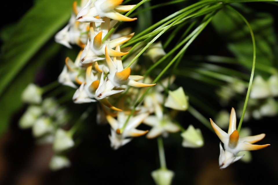Hoya, Multiflora, Rocket Wax Flower, Potted Plant