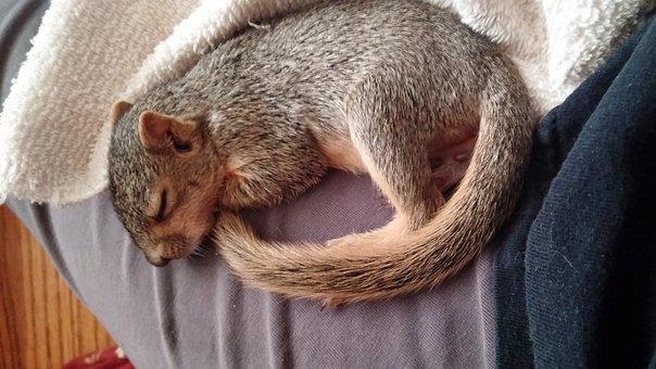 Sleeping Squirrel, Squirrel, Wildlife