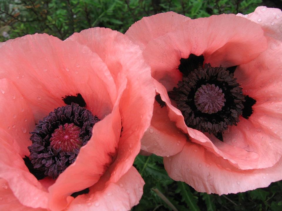 Poppies Flowers Free Photo On Pixabay