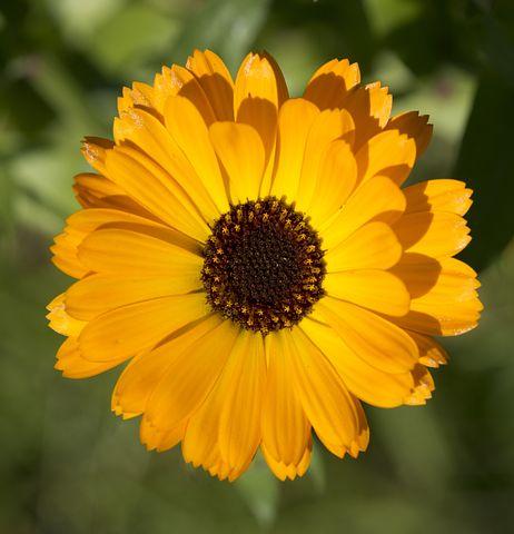 Цветы календулы смотреть онлайн