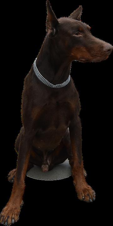 Isolated Dog Doberman 183 Free Photo On Pixabay