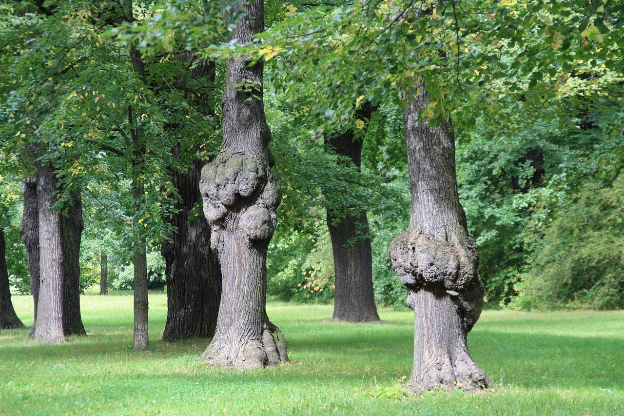 Фото дубовых деревьев