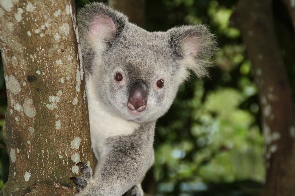 Australia, Zoo, Koala Bear