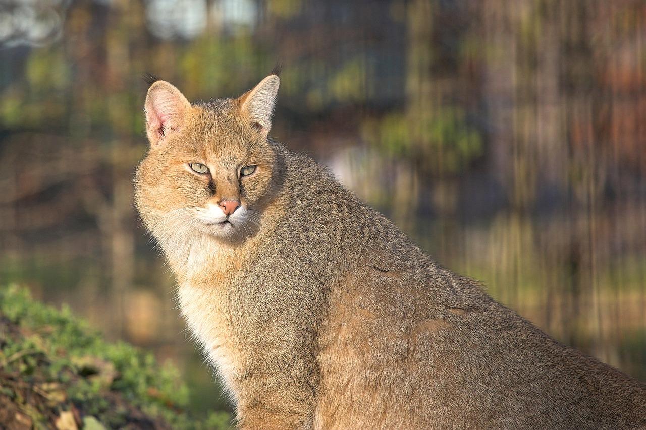 Карманная кошка фото порода действительно
