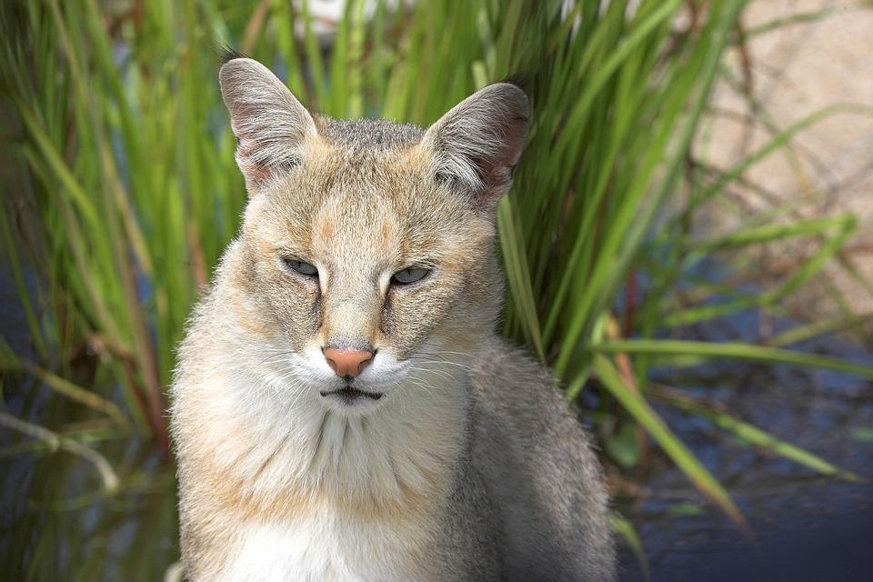 Photo Gratuite Chat De La Jungle Chat Animaux Image Gratuite Sur Pixabay 1068671
