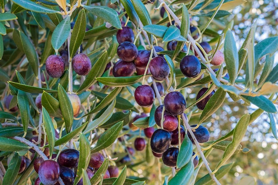 Olio, Olive, Oliva, Vendemmia, Foglie, Frutta