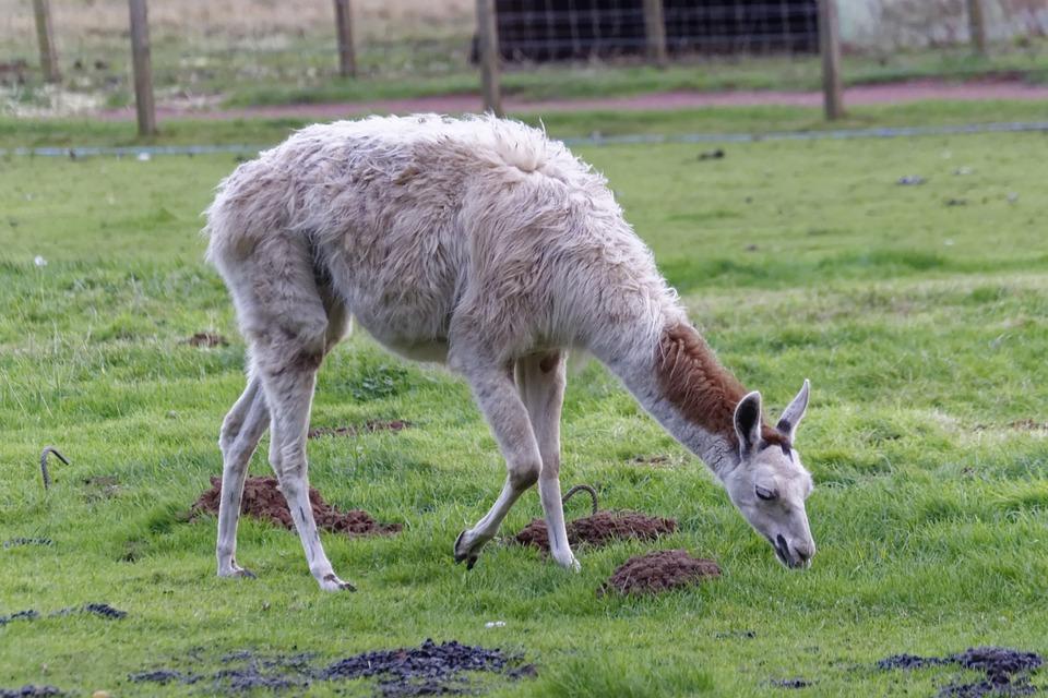 哺乳动物, 自然, 农场, 羊驼, 毛皮, 羊毛, 可爱, 野生动物, 动物园