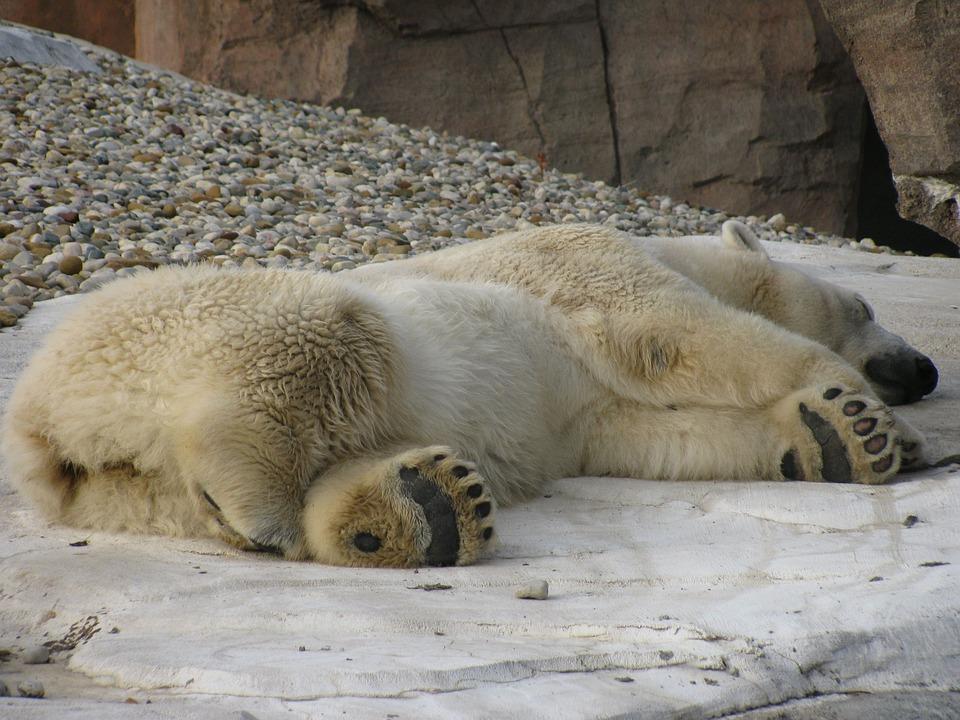 free photo sleeping polar bear sleep nap free image. Black Bedroom Furniture Sets. Home Design Ideas