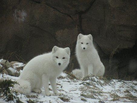 Ártico, Blanco, Fox, Invierno, Frío