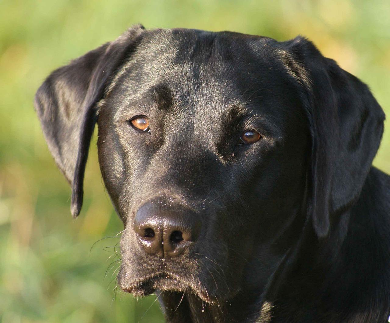 Фрай картинки, картинки лабрадора собаки