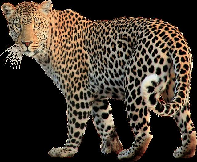 Free Photo: Isolated, Animal, Leopard, Cat