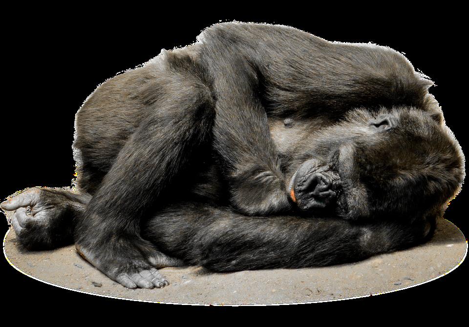 isol gorille singe photo gratuite sur pixabay. Black Bedroom Furniture Sets. Home Design Ideas