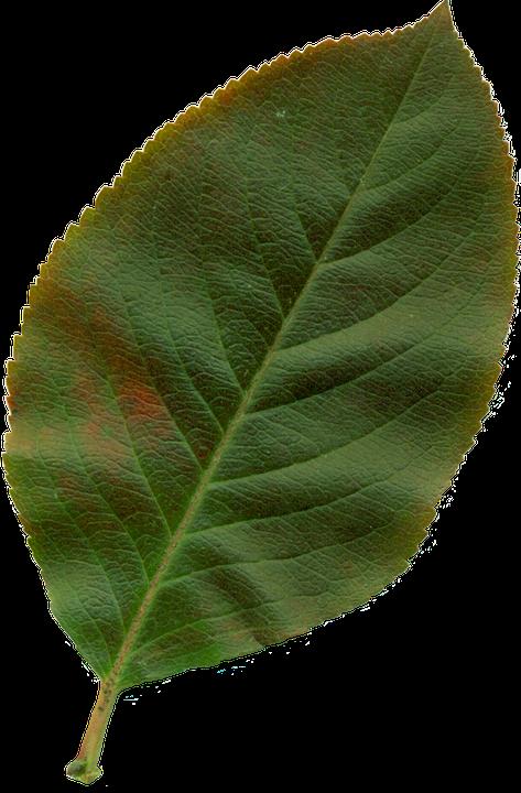 photo gratuite feuille clipart nature feuilles image