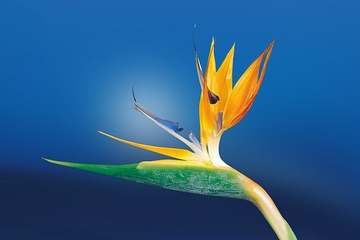 Caudata Strelitzia Bird Of Paradise Flower