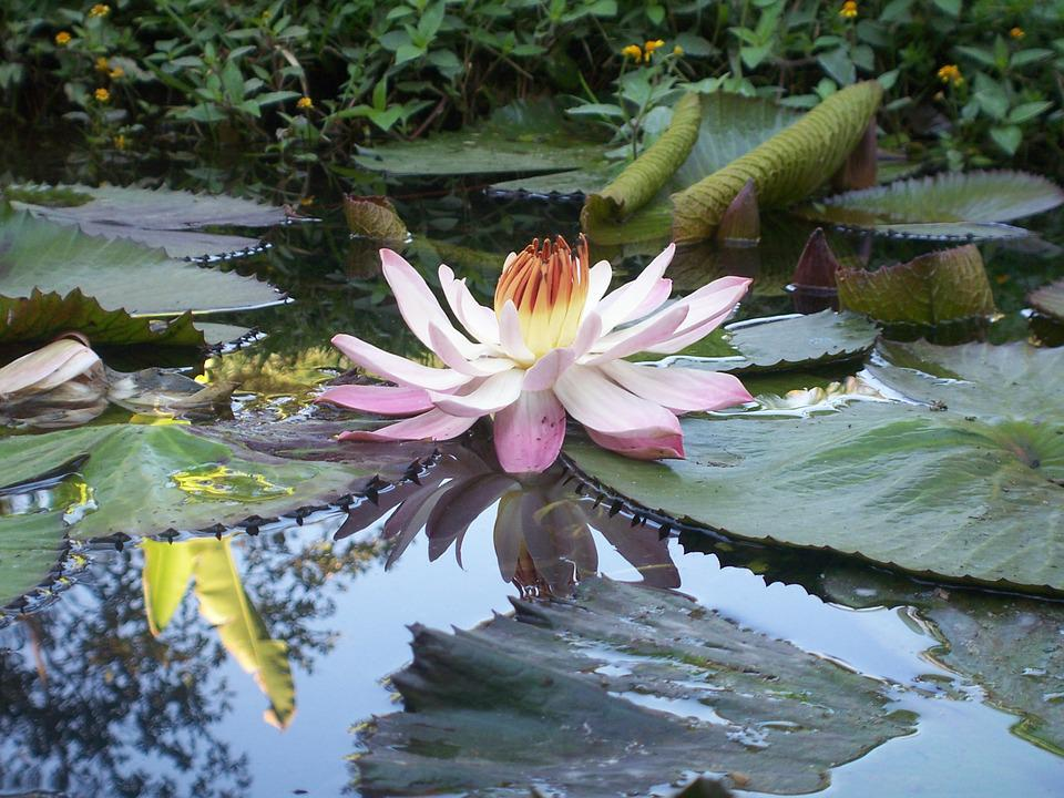 free photo beauty, flower, lily, nature, pond  free image on, Beautiful flower