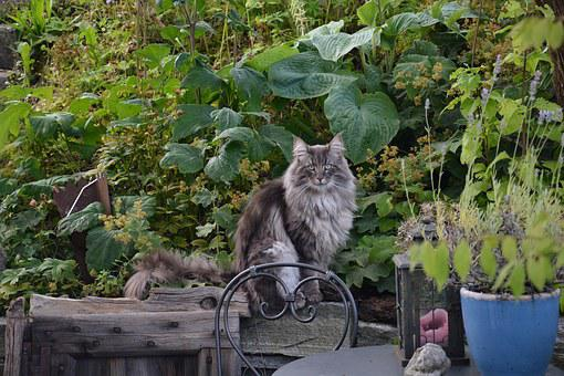 Norwegische Waldkatze, Natur, Garten