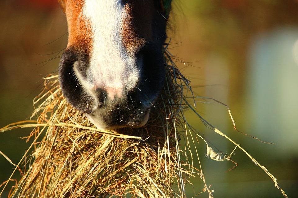 kostenloses foto pferd heu fressen maul kostenloses bild auf pixabay 1074867. Black Bedroom Furniture Sets. Home Design Ideas