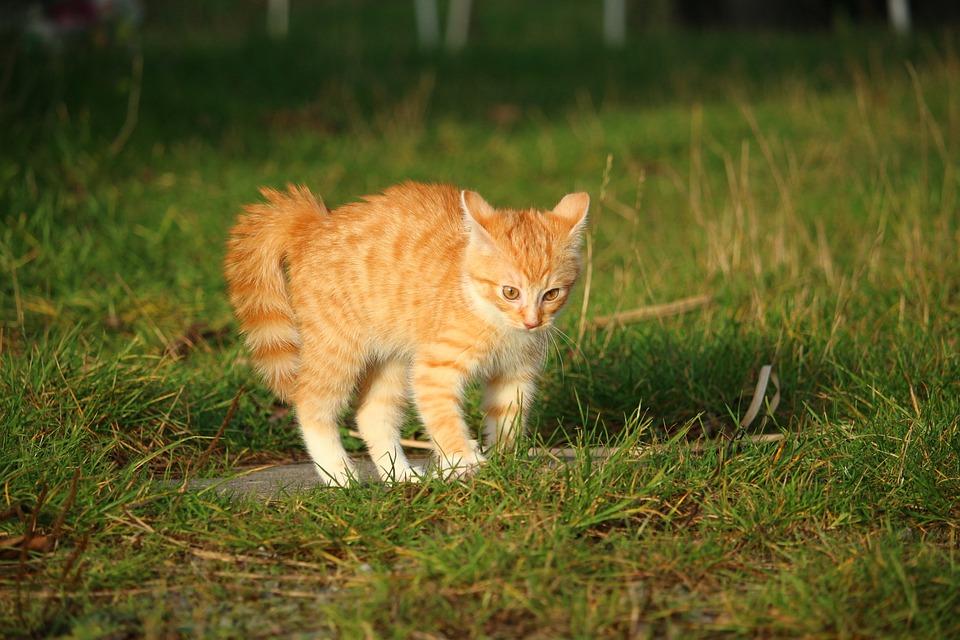 Kotek Czerwony Pręgowany Tygrysio Darmowe Zdjęcie Na Pixabay