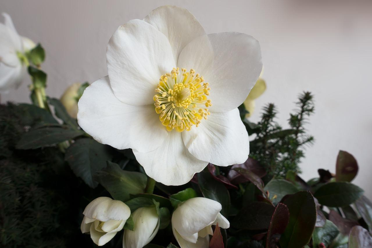 Фото цветка рождественская роза