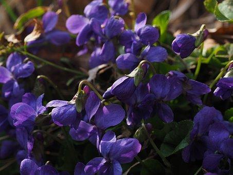 香りスミレ, 紫, 花, バイオレット, ニオイスミレ, 3 月のバイオレット