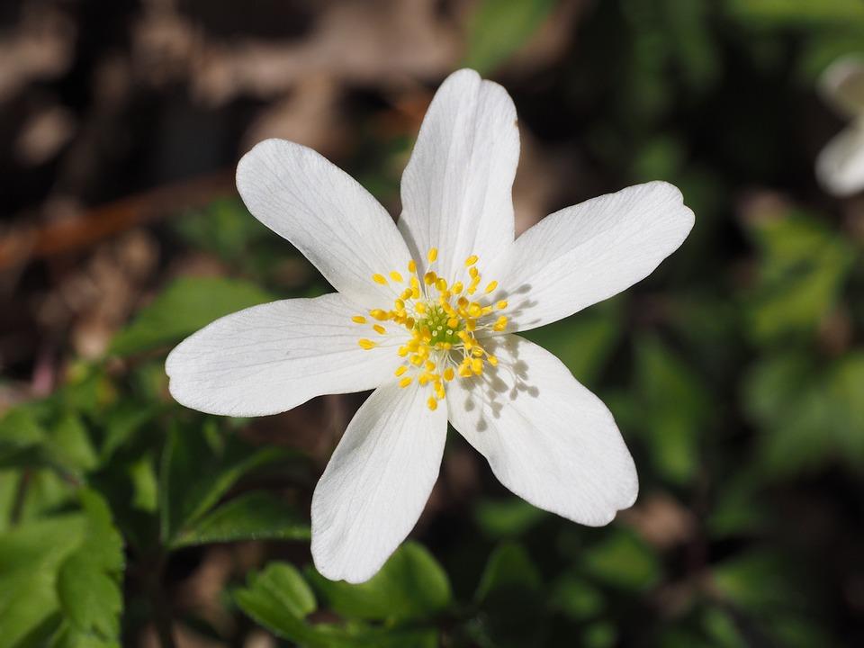 Buschwindröschen Blüte Blume · Kostenloses Foto auf Pixabay