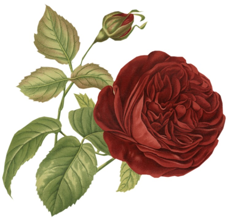 Connu Illustration gratuite: Rose, Fleur, Vintage, Red, Bud - Image  AJ24