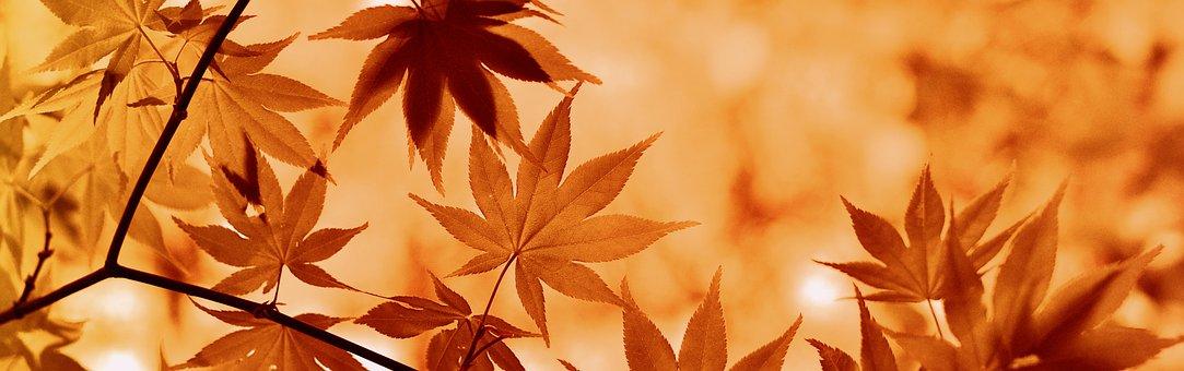Lönn, Höst, Blad, Träd, Botanik, Växt