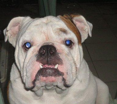 English Bulldog, Bulldog, Pet, Dog