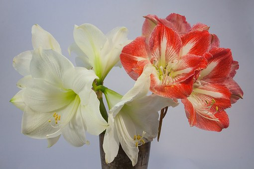 Amaryllis Red White Blossom Bloom Flower P