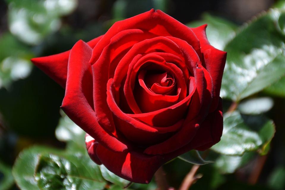 Rosa Vermelho Vermelha Foto Gratuita No Pixabay