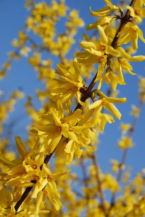 Arbre Fleur Jaune Photo Gratuite Sur Pixabay