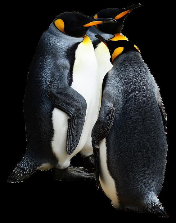 penguin king bird 183 free photo on pixabay