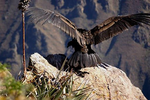 Cóndor, Andes, Colcacanon, La Libertad