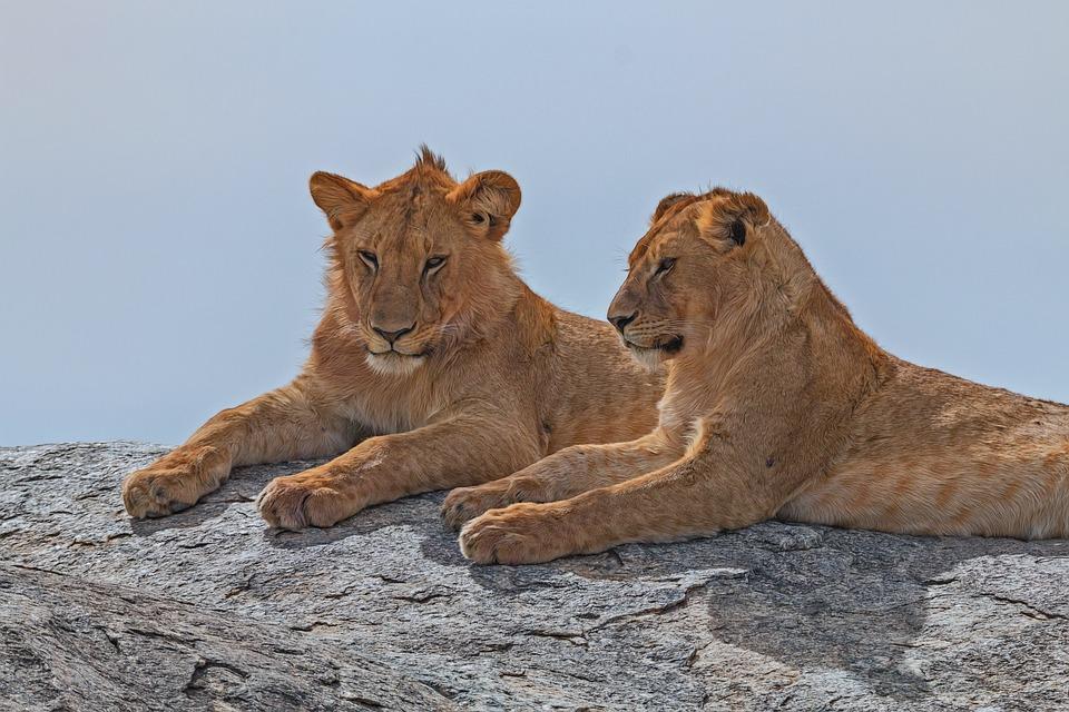 Lion, Afrique, Serengeti, Des Animaux, Safari, La Faune