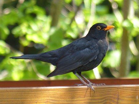 Aves, Mirlo, Negro, Animales