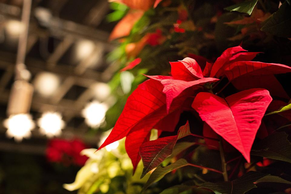 Free photo: Poinsettia, Christmas, Lights - Free Image on Pixabay ...