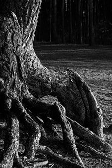 Pine, Trunk, The Roots Of The, Trees