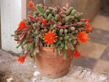 Cactus, Flowering Cactus, Tile, Pot