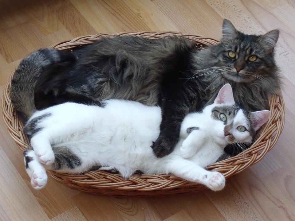 cat maine coon chat poil long photo gratuite sur pixabay. Black Bedroom Furniture Sets. Home Design Ideas