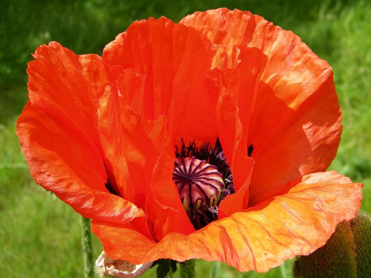 картинки цветка мак садовый данное