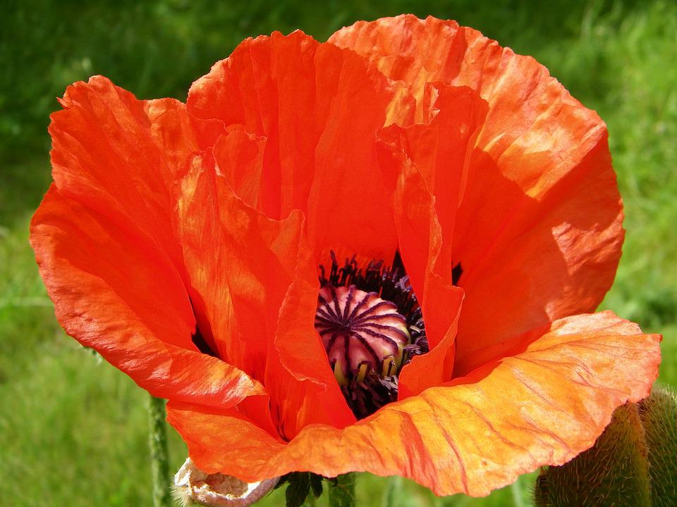 Oriental poppy papaver free photo on pixabay oriental poppy papaver flower red summer bloom mightylinksfo