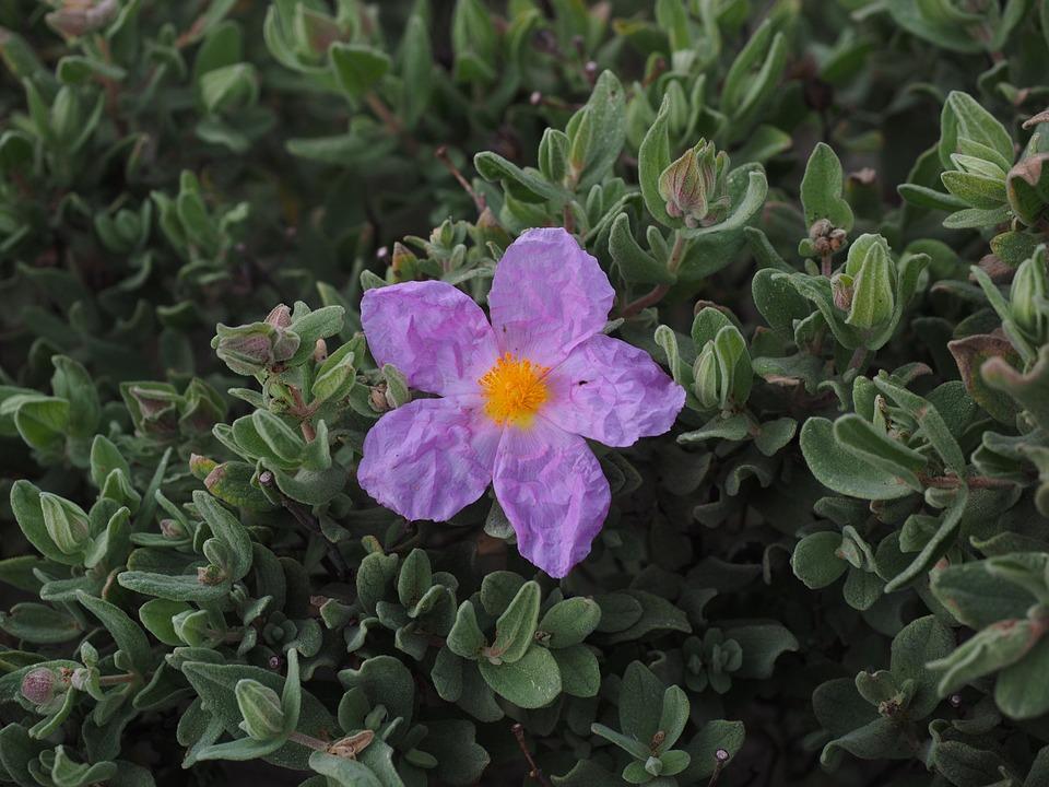Urtete af Cistus incanus er blevet anvendt mod borrelia.