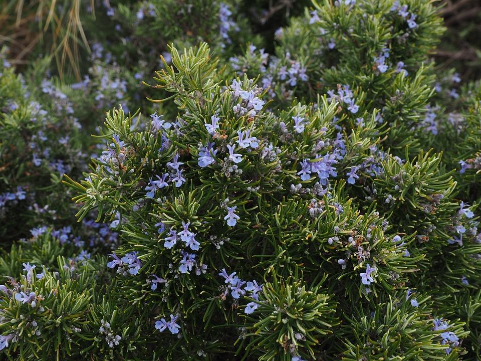 free photo rosemary flowers blue violet free image on pixabay 1090418. Black Bedroom Furniture Sets. Home Design Ideas